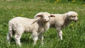 I am But Your Lamb ~ CHRISTian poetry by deborah ann ~
