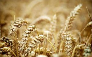Wheat 2 by Simeon Hughes free photo #2858