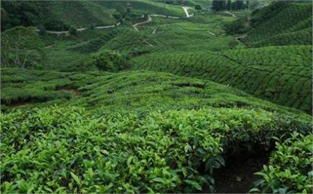Tea Plantation by Matt Gruber free photo on Creation Swap