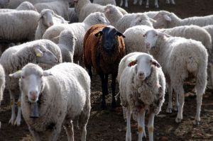 Black Sheep ~ CHRISTian poetry by deborah ann Wikipedia