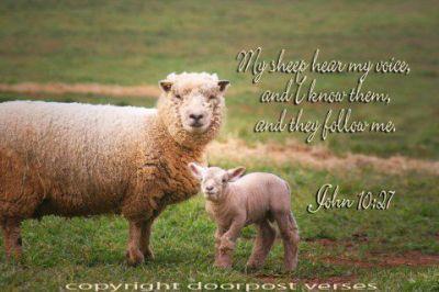 My Sheep used with perrmison Doorpost Verses on Facebook